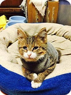 Domestic Shorthair Kitten for adoption in Wantagh, New York - Baby Jax