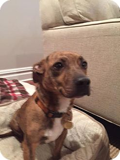 Terrier (Unknown Type, Small) Mix Dog for adoption in North Brunswick, New Jersey - Madison