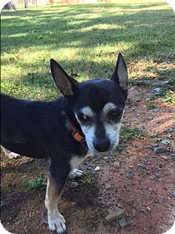 Chihuahua Mix Dog for adoption in Monroe, North Carolina - Cooper