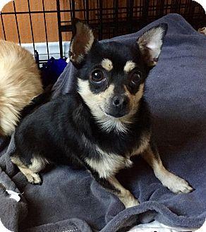 Miniature Pinscher/Pomeranian Mix Dog for adoption in Santa Ana, California - Spencer