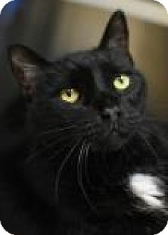 Domestic Shorthair Cat for adoption in Aiken, South Carolina - Hector