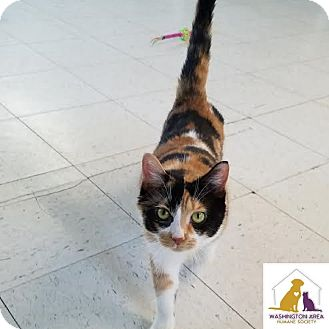 Domestic Shorthair Cat for adoption in Eighty Four, Pennsylvania - Orchid