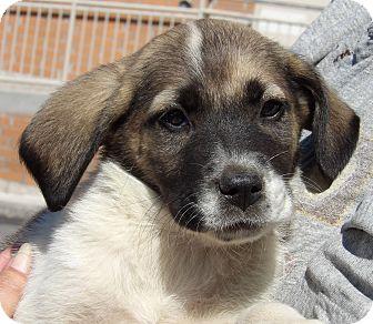 Australian Shepherd/Labrador Retriever Mix Puppy for adoption in Burlington, Vermont - Oriel (8 lb) Video
