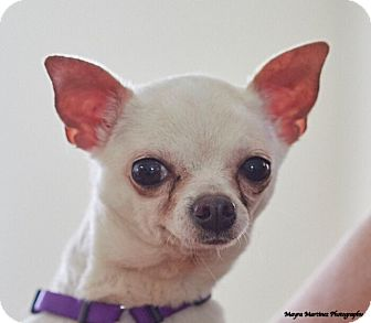 Chihuahua Mix Dog for adoption in Chattanooga, Tennessee - Lulu