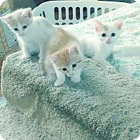 Adopt A Pet :: Orange and White kittens - Yorba Linda, CA