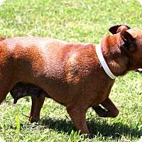 Adopt A Pet :: Myrtle~meet me~ - Glastonbury, CT