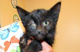 Domestic Shorthair Kitten for adoption in Wildomar, California - 354798