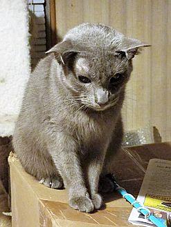 Domestic Shorthair Cat for adoption in Bluffton, South Carolina - Shaddow