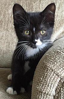 Domestic Shorthair Kitten for adoption in London, Ontario - Jasper