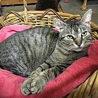 Adopt A Pet :: Sweet Cheeks - Salem, NH