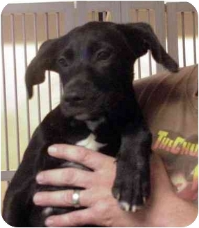 Labrador Retriever Mix Puppy for adoption in Manassas, Virginia - Hugo