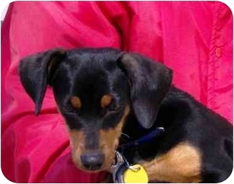 Terrier (Unknown Type, Small) Mix Dog for adoption in Osseo, Minnesota - Minnie