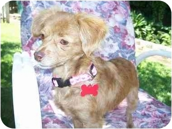 Terrier (Unknown Type, Small) Mix Dog for adoption in Sacramento, California - Lizzie
