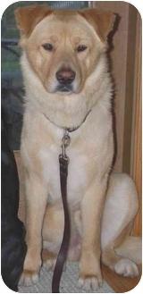 "Labrador Retriever Mix Dog for adoption in Mt. Prospect, Illinois - Big Budd (aka ""Buddy"")"