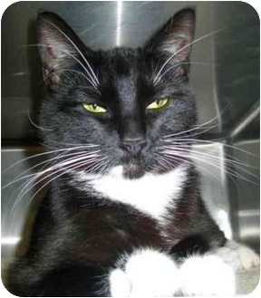 Domestic Shorthair Cat for adoption in North Kingstown, Rhode Island - Natale