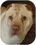 Shar Pei Mix Dog for adoption in Brazil, Indiana - Eddie