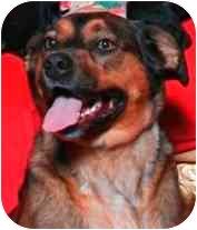 German Shepherd Dog/Boxer Mix Dog for adoption in Salem, Oregon - Lola