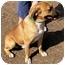 Photo 1 - Boxer/Bulldog Mix Dog for adoption in Hamilton, Ontario - Astro