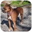 Photo 2 - Boxer Dog for adoption in Turnersville, New Jersey - Bella
