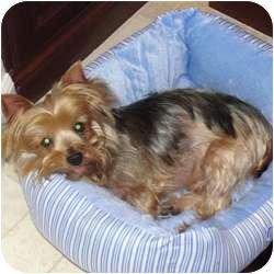 Yorkie, Yorkshire Terrier Dog for adoption in Omaha, Nebraska - Scooter
