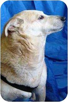 Retriever (Unknown Type)/Carolina Dog Mix Dog for adoption in Salem, Ohio - Honey IV