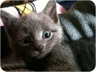Russian Blue Kitten for adoption in Brooklyn, New York - Myshkin