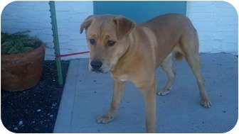 Chow Chow/Shepherd (Unknown Type) Mix Dog for adoption in Chino Valley, Arizona - Oakley
