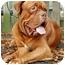 Photo 1 - Dogue de Bordeaux/Dogue de Bordeaux Mix Dog for adoption in Phoenix, Arizona - Harley