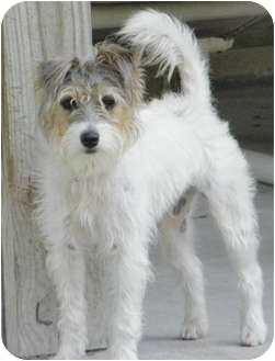 Jack Russell Terrier Puppy for adoption in Terra Ceia, Florida - PARKER
