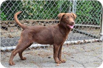 Labrador Retriever/Border Collie Mix Dog for adoption in Cumming, Georgia - Jodie