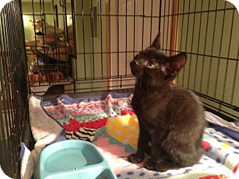 Domestic Shorthair Kitten for adoption in East Hanover, New Jersey - Jetta