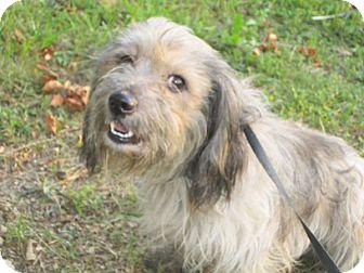 Petit Basset Griffon Vendeen/Lhasa Apso Mix Dog for adoption in Bridgewater, New Jersey - Maury(adopted)