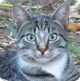 Domestic Shorthair Cat for adoption in Davis, California - Teemo