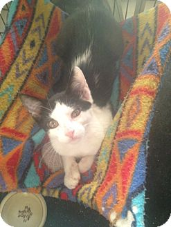 American Shorthair Cat for adoption in Island Park, New York - Buttons