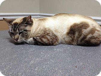 Siamese Cat for adoption in Monroe, Georgia - Platinum/Blake