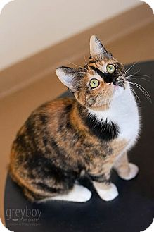 Manx Cat for adoption in Mission Viejo, California - Stacie