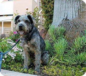 Wheaten Terrier/Schnauzer (Giant) Mix Dog for adoption in Los Angeles, California - Balthazar