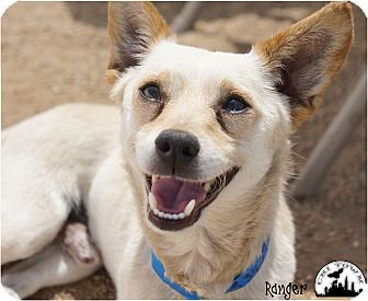 Terrier (Unknown Type, Small)/Chihuahua Mix Dog for adoption in Phoenix, Arizona - Ranger