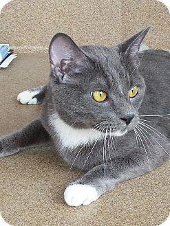 Domestic Shorthair Cat for adoption in Coronado, California - Bandit