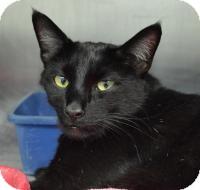 Domestic Shorthair Cat for adoption in Jacksonville, Arkansas - Salem