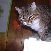 Adopt A Pet :: Starr - FeLV + - Sherman Oaks, CA