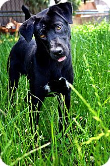 Labrador Retriever Mix Dog for adoption in Fort Smith, Arkansas - Luna