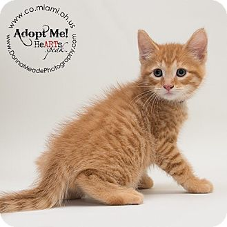 Domestic Shorthair Kitten for adoption in Troy, Ohio - Frankie-ADOPTED