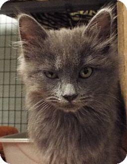 Domestic Longhair Kitten for adoption in Grants Pass, Oregon - Rain