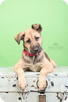 German Shepherd Dog Mix Dog for adoption in Cincinnati, Ohio - Zeus