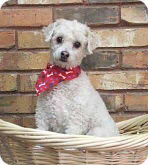 Poodle (Miniature) Mix Dog for adoption in Benbrook, Texas - Buck