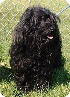 Schnauzer (Miniature)/Poodle (Miniature) Mix Dog for adoption in Oswego, Illinois - Curli Sue