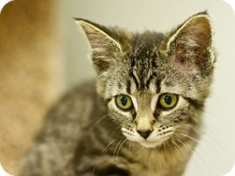 Domestic Shorthair Kitten for adoption in Great Falls, Montana - Minnie