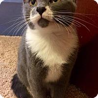 Adopt A Pet :: Sammy The Bull - Edmond, OK