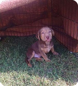Dachshund/Basset Hound Mix Puppy for adoption in Jacksonville, Texas - Benelli